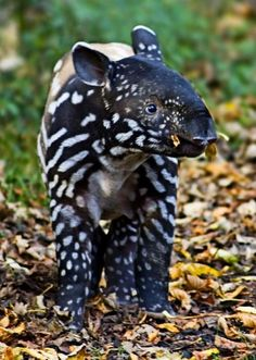 Baby Tapir.    Source: wildography.co.uk - http://wildography.co.uk/wildlife-nature-pictures/