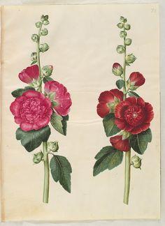 Alcea rosea, KKSgb2949/73