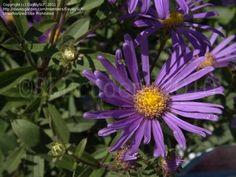 Perennial — Italian Aster 'Violet Queen' (Aster amellus)