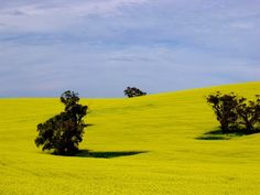 Canola fields Barossa Valley Australia Canola Field, Valley Landscape, Natural Wonders, Fields, Landscape Photography, Places Ive Been, Backyard, Australia