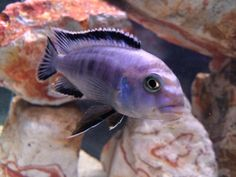 Frontosa cichlid for sale in bangalore dating