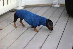 Doxie in a sweater