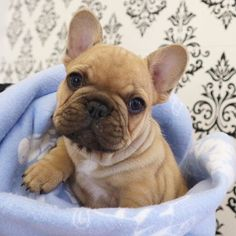 A French Bulldog Puppy after being freshly bathed ❤️