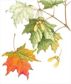 Acer Saccharum -- Sugar Maple (or Rock Maple) Leaf Drawing, Nature Drawing, Painting & Drawing, Botanical Flowers, Botanical Prints, Art Floral, Watercolor Leaves, Watercolor Paintings, Watercolour