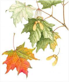 Acer Saccharum -- Sugar Maple (or Rock Maple) Illustration Blume, Autumn Illustration, Botanical Flowers, Botanical Prints, Art Floral, Watercolor Leaves, Watercolor Paintings, Nature Drawing, Botanical Drawings