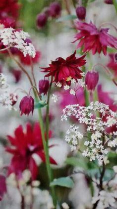 Great plant combination of Anthriscus sylvestris 'Ravenswing' & Aquilegia vulgaris 'Ruby Port'
