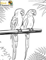 Blue And Yellow Macaw Coloring page  coloring pages  Pinterest