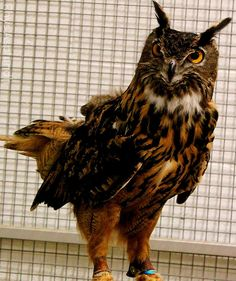 Eagle Owl | Flickr - Photo Sharing❤️