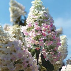 "Hydrangea paniculata 'Pink Diamond'  Woody shrub  Partial Shade/Full Sun  Height/Habit:	6 - 8'  Spread:	5 - 6'  Hardiness Zone:	4 - 8 (-20F)  Long panicles 8 - 12"" long typical of a paniculata type.  Pink buds open to white and turn to a bright pink.  Flowers summer into fall  Not particular about planting site.  Average well drained garden soil. Can be bought at Michigan Bulb Co."