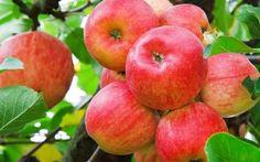 Le mele alla base di una sana alimentazione per l'intestino