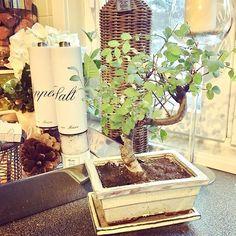 This small bonsai tree just moved in - let's see how it goes 🙉🌳☺️ #gardening #winter #bonsai #neverhadonebefore #kitchendetails #rivieramaisondetails #feelingexcited #karatekidstyle #sakarijalava #nannankeittiössä