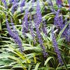 Lilyturf: LOVES shade, grows easily, blooms these sweet blue and white spindles late summer (rabbit & deer resistant!!!)