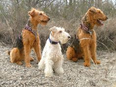 Wire Fox IVY & Airedale Dorothy , Coconut