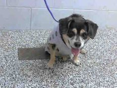 #A264870 Release date 11/21 (Chip Hold) I am a male, black and brown Chihuahua - Smooth Coated mix. Shelter staff think I am about 10 years old. I have been at the shelter since Nov 10, 2014. If I am not claimed, after my stray holding period, I may be available for adoption on Nov 21, 2014. ... City of San Bernardino Animal Control-Shelter. https://www.facebook.com/photo.php?fbid=10203925452794271&set=a.10203202186593068&type=3&theater