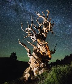 One of the oldest trees in the world in the Ancient Bristlecone Pine Forest, CA is part of Pine trees forest - More memes, funny videos and pics on Weird Trees, Bristlecone Pine, Hansel Y Gretel, Pine Trees Forest, Unique Trees, Tree Photography, Ocean Photography, Photography Tips, Portrait Photography