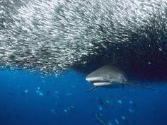 fish shoal and predator