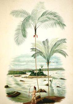 Palmeiras.  J. Barbosa Rodrigues (1842-1909).