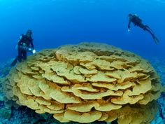 Ancient Lobe Coral. Photograph by Brian J. Skerry, National Geographic. Marine ecologist Enric Sala (foreground) examines an enormous lobe coral on Kingman Reef in the South Pacific's remote Line Islands. This coral is 500 years old, but the species was unknown to science before Sala's discovery.