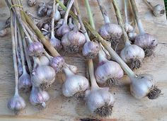 "Deborah Miuccio, who manages the test gardens here at Gardener's Supply, just harvested a fine crop of garlic — her second year with this easy-care crop.    Other than keeping the bed weeded, she offers this advice:  ""Remember to top-dress the beds with some slow-release fertilizer in spring,"" says Deborah, ""and keep the plants watered if you don't get enough rain."" See our garlic ""how-to"" to learn more."