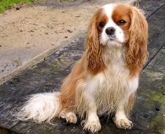 If I had a Cavalier King Charles Spaniel, he would look like this! Wet, like he has been running with my big dogs!