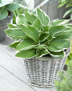 Longfield Gardens offers hosta plants for spring planting. These shade loving perennials have decorative foliage and summer flowers. Excellent for shade gardens, landscaping and natural areas. Lavender Flowers, Summer Flowers, Green Leaves, Plant Leaves, Hosta Plants, Plant Tattoo, Elephant Ears, Spring Bulbs, Landscaping