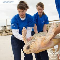 This loggerhead sea turtle heads back to the wild after vets surgically removed two fishing hooks embedded in him. #365DaysOfRescue