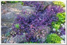 Tradescantia pallida and succulents in the Ruth Bancroft Garden.