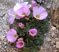 5 x Oxalis Adenophylla Bulbs Silver Shamrock Pretty Perennial Rock Flowers, Lilac Flowers, Beautiful Flowers, Alpine Flowers, Alpine Plants, Garden Bulbs, Garden Plants, Plantes Alpines, Shamrock Plant