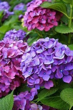 Hydrangea – Le Chateau Garden (by noriko. Hortensia Hydrangea, Hydrangea Garden, Hydrangea Flower, Purple Flowers, Beautiful Flowers, Flower Pictures, Flower Art, Flower Power, Planting Flowers