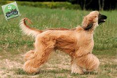 Raza AFGANO, descubre más sobre tu mascota en nuestra wiki especializada. (Próximamente disponible) www.petcivi.com/