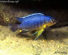 "Tropheops sp. ""yellow chin"" - 3"" (male) Glass Aquarium, Tropical Aquarium, Tropical Fish, Malawi Cichlids, African Cichlids, Amphibians, Reptiles, Cichlid Fish, Rift Valley"