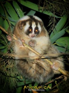 Zoos are trying very had to breed loris babies to help with captive populations, as loris numbers in the wild dwindle. Adopt a weird and wonderful loris from a place like Bristol Zoo that has an adoption scheme!  They are super social, very intelligent, and have strong bonds; and the babies you see in those videos it is sad to say have the slimmest chance to make it of them all. Help us keep loris babies in the forest where they belong!