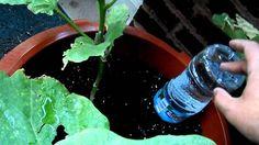 Regar las plantas mientras está de vacaciones con un viejo vino, cerveza o agua de botella, es una gran manera para regar las plantas. Más allá de la cuest