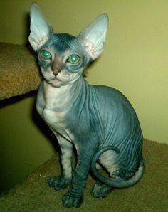 Don Sphinx Cat. Beautiful animals.