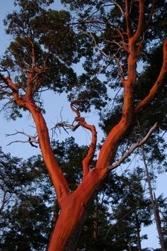 arbutus tree not grown where I am in Harrison Hot Springs but on Vancouver Island...one of my favourite trees! kr