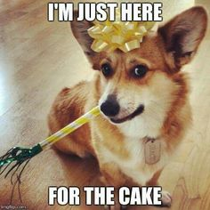 PARTY ANIMAL (manages to crash every one on account of cake --got a real sweet tooth) Funny Corgi Pictures, Corgi Funny, Cute Corgi, Corgi Dog, Funny Dogs, Cute Dog Memes, Funny Animal Memes, Funny Animals, Pet Memes