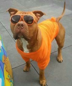 Ready for the beach #pitbulls