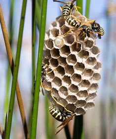 Yellow Jacket (Vespula maculifrons) Are you overrun with wasps and hornets? Check out these easy DIY solutions. Foto Macro, Termite Control, Pest Control, Wasp Nest, I Love Bees, Bees And Wasps, A Bug's Life, Bugs And Insects, Nature