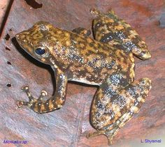 """Micrixalus frogs are popularly known as """"dancing frogs"""" due to their peculiar habit of waving their feet to attract females during the breeding season. (Photograph by L. Shyamal, Wynaad, 2006)"""