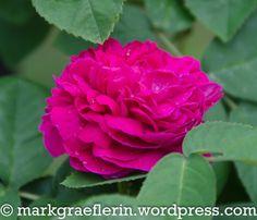 Garten Mai 16 Mai, Roses, Flowers, Plants, Watering Plants, Rain Drops, Lawn And Garden, Pink, Rose