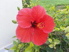 Ibiscus... Il mio fiore dell'estate