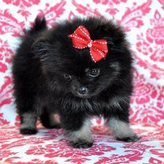 Black and Grey Teacup Pomeranian *WISH*