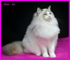 One of our beautiful Angel Eyes Ragdolls from the past www.angeleyesragdolls.com Angel Eyes, The Past, Clip Art, Cats, Animals, Beautiful, Gatos, Animales, Animaux