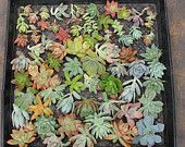 Succulent cuttings 15 succulent perfect for wall gardens wreath and topiaries Succulents  echeverias succulent. $11.00, via Etsy.