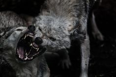 Fearsome wolf fight.