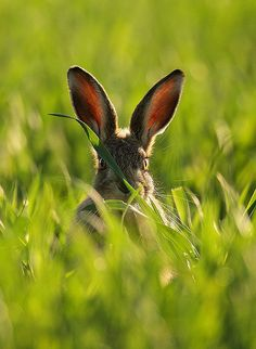 Hare in wheat - by Mike Rae
