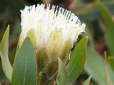 Small white protea Cape, Plant Leaves, Flora, Weddings, Plants, Mantle, Cabo, Wedding, Plant
