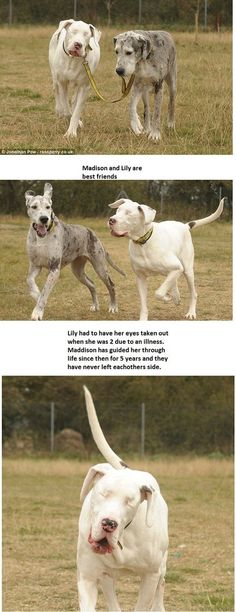 (<3 this story!). Lily is a Great Dane that has been blind since a bizarre medical condition required that she have both eyes removed. For the last 5 years, Maddison, another Great Dane, has been her sight. The two are, of course, inseparable.    If this doesn't tug on your heart strings I don't know what will.
