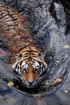 Tiger swimming~