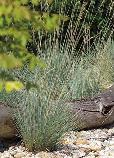 Ovsíř stálezelený (Helictotrichon sempervirens) - okrasná tráva, namodralé, čárkovité, přezimující listy, kvete VI-VIII, v. 40 cm, v květu 1 m, š. 50 cm, 41 kusů